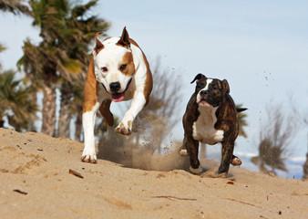 compétition entre deux molosses sur la plage