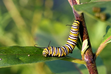 Monarch Butterfly Caterpillar On Milkweed