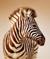 Aluminium Prints Zebra Zebra portrait