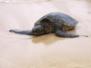 ラニケアビーチのウミガメ