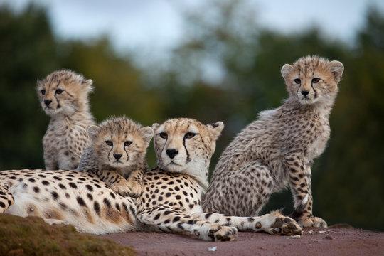 Cheetah family on rock