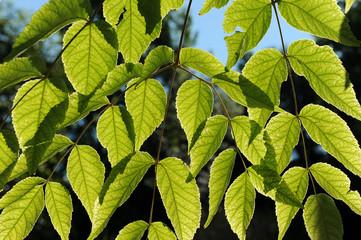 foglie 1085