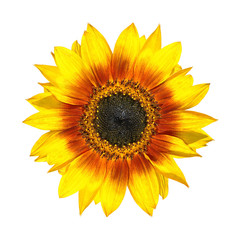 Beautiful Yellow Sunflower Petals Closeup Isolated on White