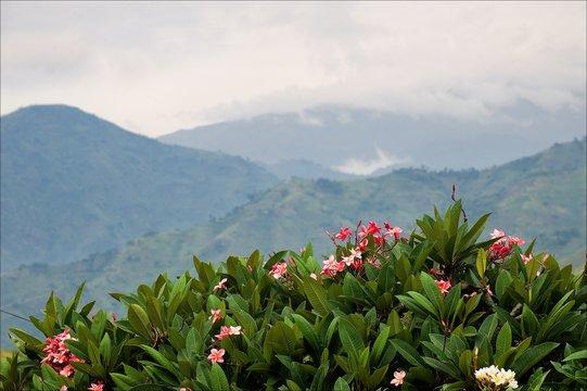 Mountains of forest  Bwindi.