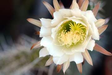 pianta grassa fiori 1052