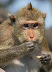 The monkey eats a nut
