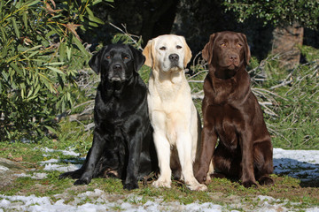 three colors of the coat of the labrador