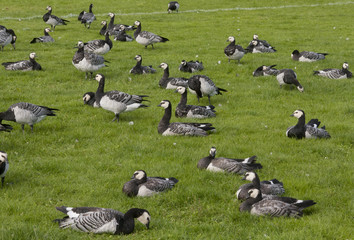 Barnacle goose in the grass