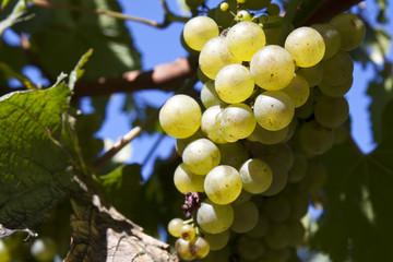 grappolo di uva con foglie in un campo