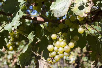 vite con il frutto (uva)