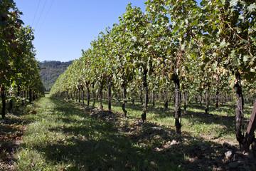 campi di uva e coltivazione