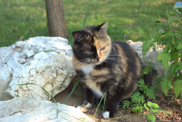 gatto tricolore