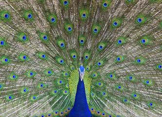 Indian Peacock dancing