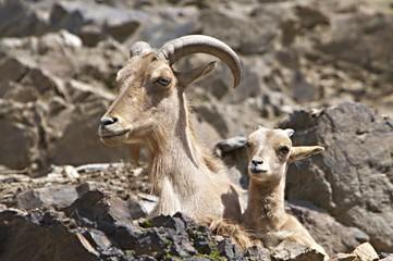 Barbary sheeps