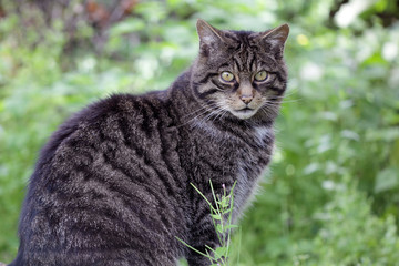 Scottish Wildcat from Scotland