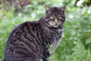 Scottish Wildcat from Scotland