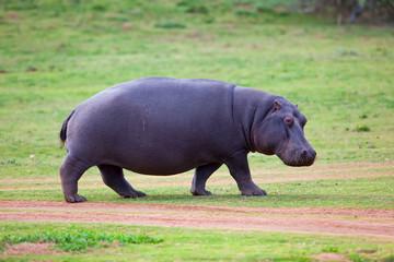 Hippo walking Wall mural