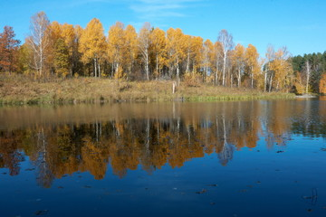 Reflection of the autumn birch trees in the pond in a sunny day