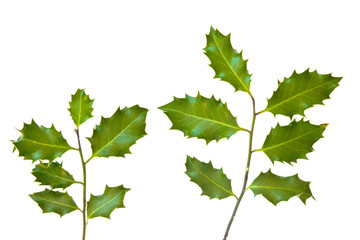 Holly leaves isolated on a white background