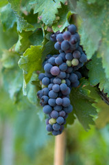 grapes hanging from vine in vinyard