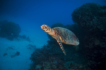 Green Turtle, Great barrier reef, australia