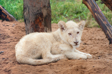 White lion cub rests on the ground