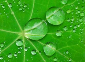 Water drops on Nasturtium leaf