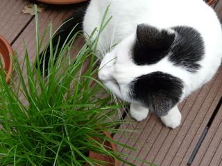 Katze frißt Grass