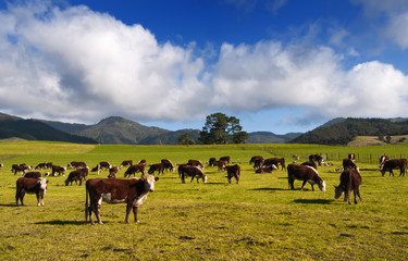 Canvas Prints New Zealand New Zealand Cows & Countryside.