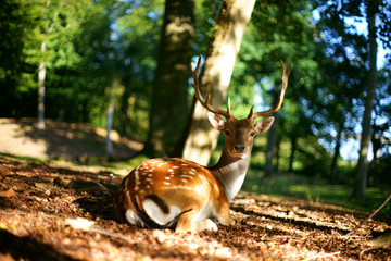 Deer in clearing