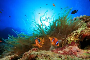 Anemone and pair of Red Sea Anemonefish