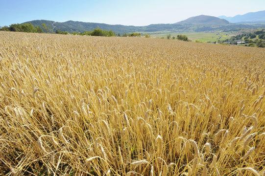 champ de blé en été, champsaur, alpes, france