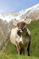 Kuh Berge Alpen