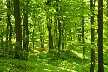 Grüner Sommerwald