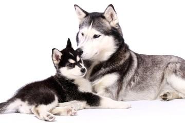 Schlittenhunde Mutter und Welpe