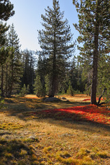 Bright red moss in solar autumn morning