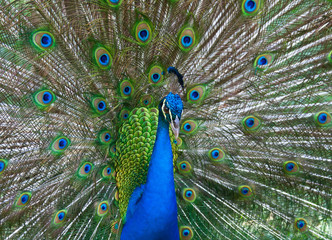 Beautiful color peacock