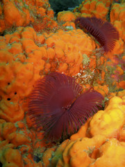 Featherduster worms over yellow sponge underwater in Dominica