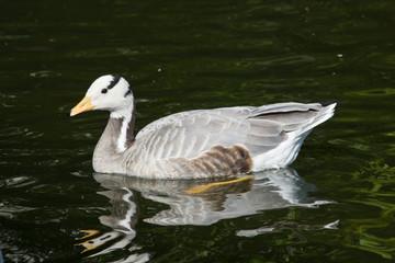 Eulabeia, Anser indica, Bar-headed Goose