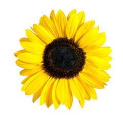 Beaufitul Fresh Yellow Sunflower Flower Isolated on White