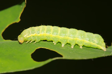 lepidoptera insects