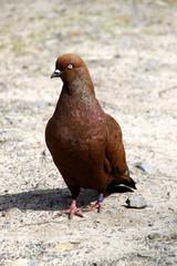 Braune Taube