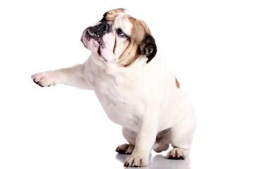 englische Bulldogge gibt Pfötchen