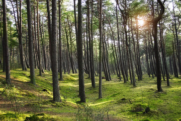 Green pine forest with ray of light