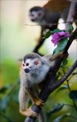 Saimiri - Squirrel monkey.
