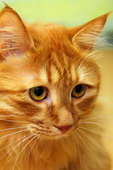 bobtail red cat portrait