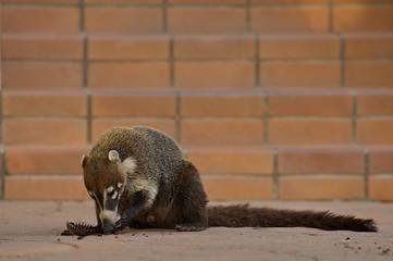 Ring-tailed Coati (Nasua nasua), eating a cupcake on a resort.