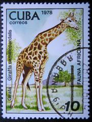 CUBA - CIRCA 1978: Shows fauna Africa the Giraffe.
