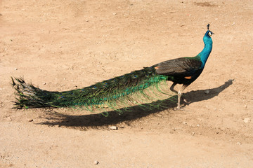 Peacock in Thailand