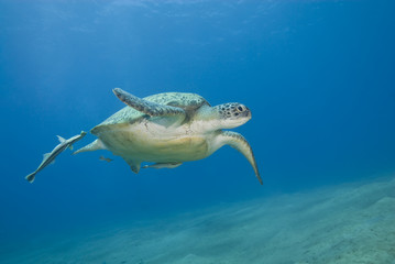 Adult female green turtle swimming.